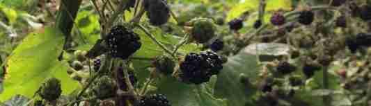 Harvest Blackberries